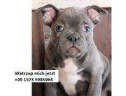 Hochwertige französische Bulldogge Welpen zum