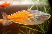 Harlekinregenbogenfisch