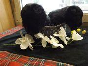 Soottish-Terrier-Welpen