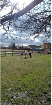 Suche Shetty Pony