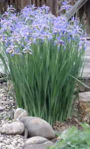 Diverse Lilien Ableger Schwertlilien Taglilien