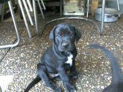Labrador-Welpe
