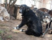 TIERSCHUTZ IGOR 67cm Herdenschutzhund-Mix sucht