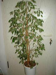 Ficus Benjamin Birkenfeige Hydropflanze Büropflanze