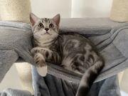 BKH Kitten in Black-Silver-Tabby-Classic mit
