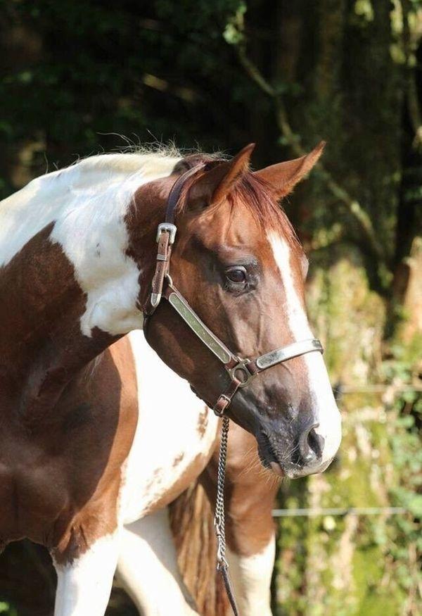 Paint Horse Stute homozygot