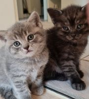Zuckersüsse BKH Kittens