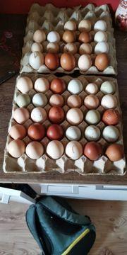 10 Hühner Bruteier