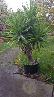 Yuccapalme immergrüne Zimmerpflanze