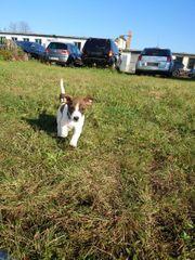 Jack Russel Terrier Tricolor Welpen