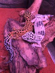 Leopardgecko 89EUR