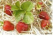 Erdbeeren Strohunterlage für Erdbeerpflanzen saubere