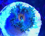 palythoa Captain america krustenanemone koralle