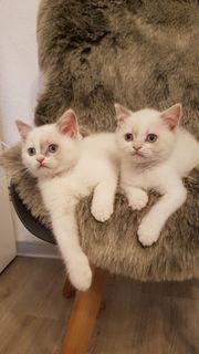 BKH Kitten 10 Wochen