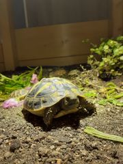 Landschildkröten griechisch
