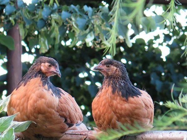Vorwerkhühner Nachzucht mit Schutzimpfung entwurmt