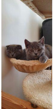Kitten British kurzhaar SC c