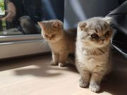 2 Reinrassige BKH Scottish Fold -