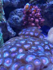 Meerwasser Aquarium Korallen zoas Miami
