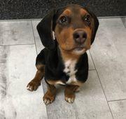 Bracke - jagdthund Theo sucht ein