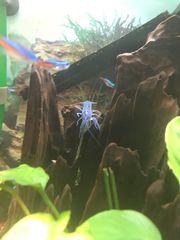 Blauer Floridakrebse Procambarus allein