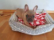 Französische Bulldoggen Welpe