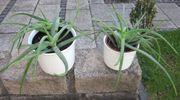 2 Aloe-Pflanzen dickfleischig je 5 -