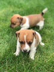 Hübsche Jack Russel Terrier Welpen
