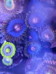 korallen Zoanthus Meerwasser