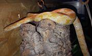 5 adulte Kornnattern pantherophis guttatus