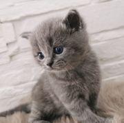 BKH Kitten Reinrassig