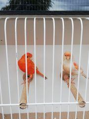 Schöne Kanarienvögel aus 2020