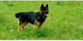 Hunde - Deckanzeige Altdeutscher Schäferhund