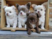Wurfankündigung von Chihuahua Baby s