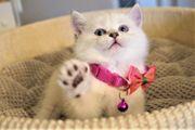 Britisch Kurzhaar Kätzchen suchen neues