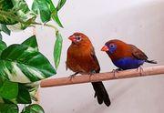 Prachtfinken Veilchenastrilde