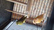 Kanarienvögel paar