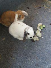 Kaninchen Mänlich kadzriert Weibchen