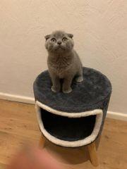 BKH Scottish Fold Kitten in