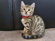 Bengal BKH Kitten noch Ein