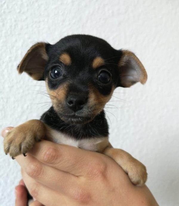 Klein bleibende Chihuahua Mix Welpen