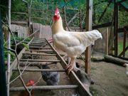 Hahn Hähne Hühner
