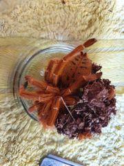 Verkaufe 01 Pterinochilus murinus rcf