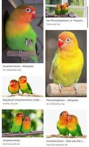 Pfirsichköpfe Papagei Vogel