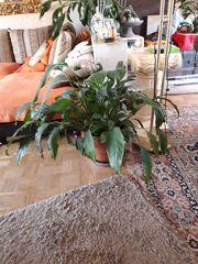 Zimmerpflanze Blattfahne