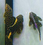 Golden Nuggets klein 1 7-3cm
