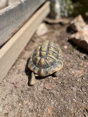 Männliche geschwisterliche Schildkröten