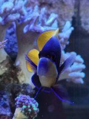 Traumkaiser Meerwasser Fisch