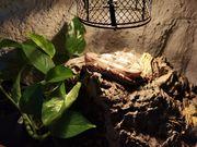 Boa constrictor Hog Island