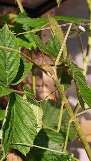 Eier Stabschrecke - Ramulus artemis